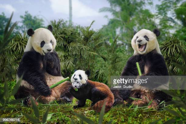 funny pandas - giant panda stock pictures, royalty-free photos & images