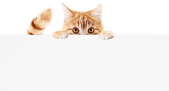 funny pet cat showing a placard isolated on white background blank web banner template and copy space 886661408