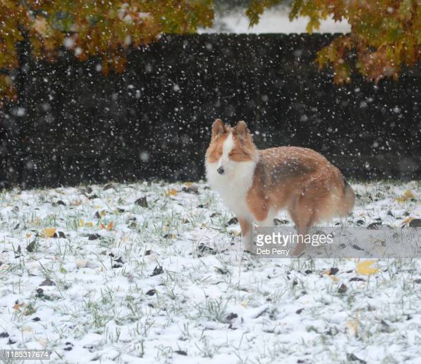 funny photo of a puppy squinting eyes shut in the snow - young hairy pics stock photos and pictures