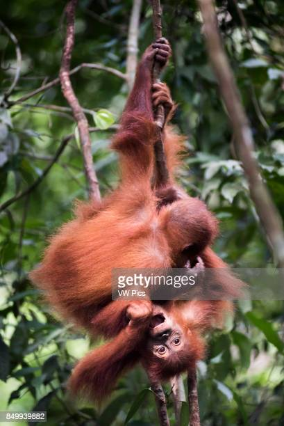 Funny photo of two baby Orangutans in the jungle near Bukit Lawang Gunung Leuser National Park North Sumatra Indonesia