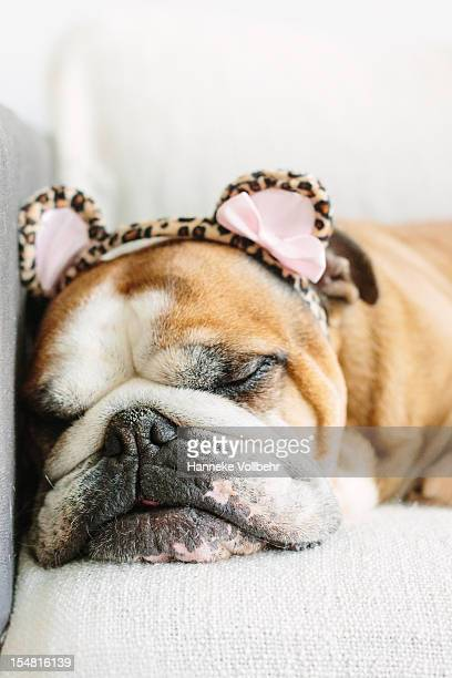Funny picture of an English bulldog sleeping