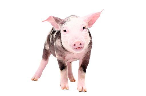 Funny piglet 1010221064