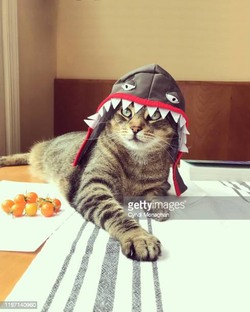 funny portrait of a tabby cat dressed as a shark - shark stock pictures, royalty-free photos & images