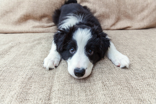 Funny portrait of cute smilling puppy dog border collie at home 1140456384