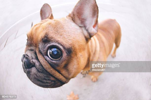funny portrait of french bulldog - seeing eye dog stock photos and pictures