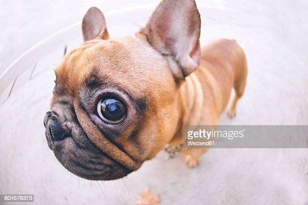 Funny portrait of French bulldog