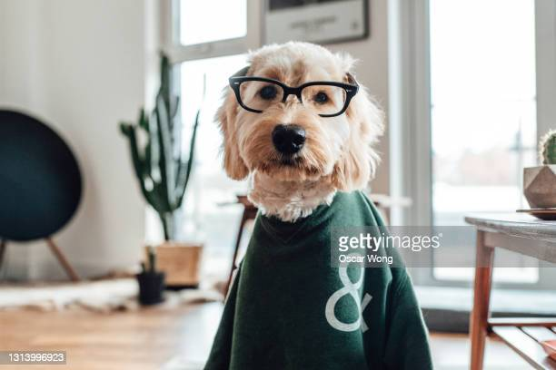 funny portraits of dogs dressed like humans - snout stock pictures, royalty-free photos & images