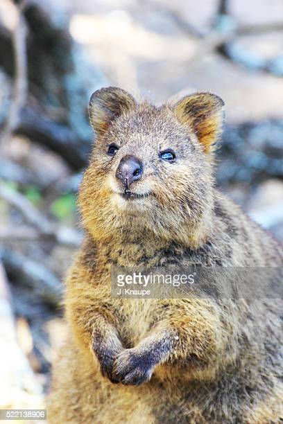 Quokka - rhymes with mocha!