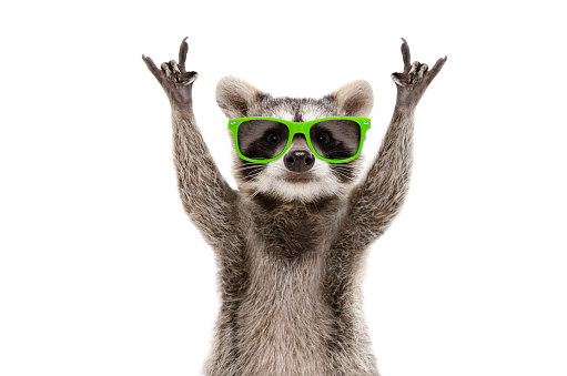 Funny raccoon in green sunglasses showing a rock gesture isolated on white background 1154370446