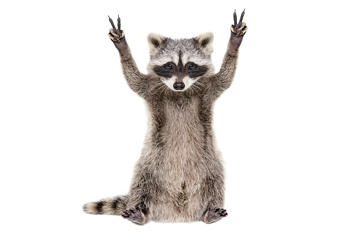 Funny raccoon, showing a sign peace, isolated on white background 1097009490