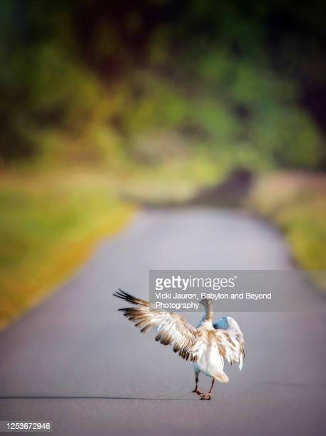 funny snow goose skipping down roadway at middle creek, pennsylvania - funny animals stock pictures, royalty-free photos & images