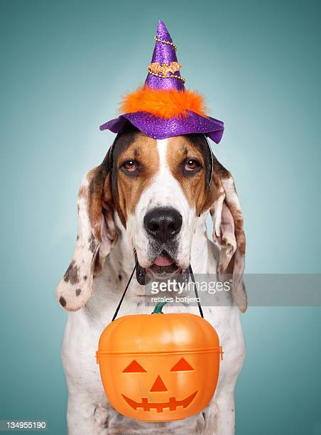 Funny Spanish Houn dog