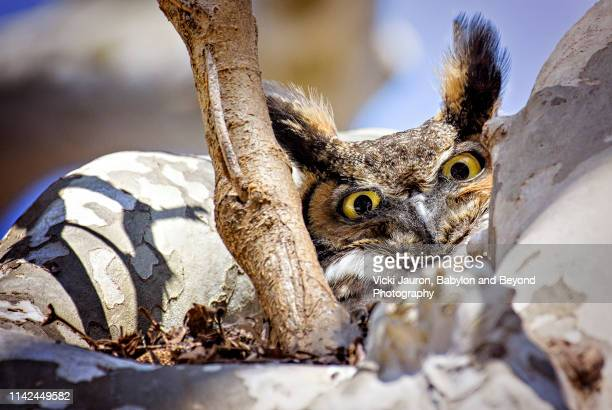 funny stare of great horned owl with tufts up in nest at audubon, pennsylvania - great horned owl stock pictures, royalty-free photos & images