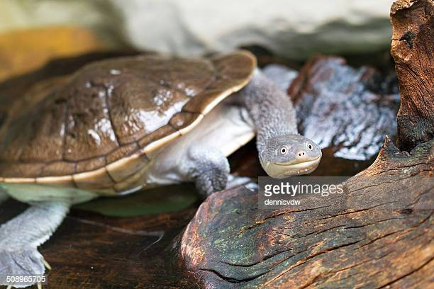 Funny long-necked turtle having a crazy moment