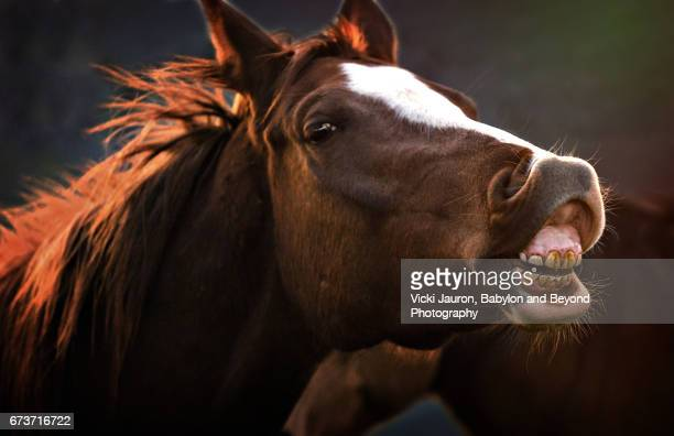 Funny View of Back Lit Horse Showing His Teeth