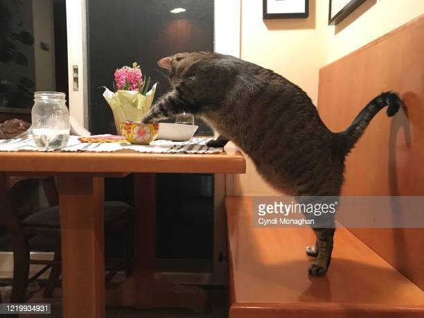funny view of cat standing on his hind legs to touch food in a bowl - naughty america stock pictures, royalty-free photos & images