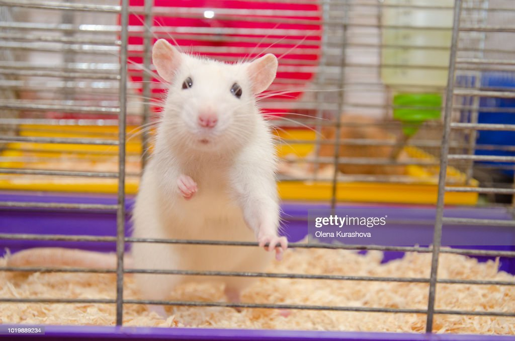 Funny white laboratory rat standing and looking out of a cage : Stock Photo