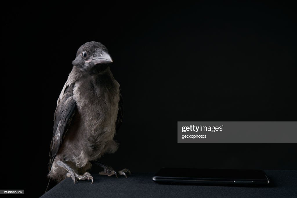 Funny young crow bird or raven using smartphone over black funny young crow bird or raven using smartphone over black background stock photo voltagebd Choice Image