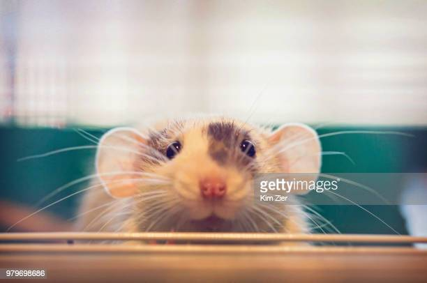 fur baby patch - animal whisker stock pictures, royalty-free photos & images