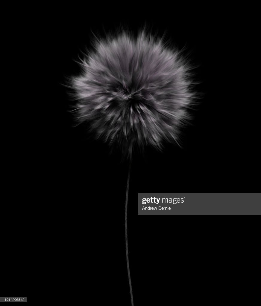 Fur Flower isolated black background : Stock Photo