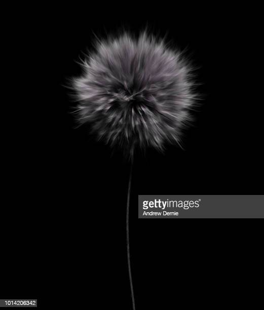 fur flower isolated black background - andrew dernie stock pictures, royalty-free photos & images