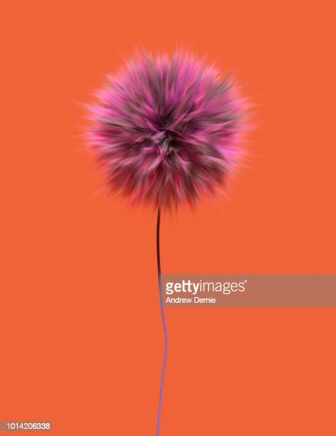 fur flower isolated orange background - andrew dernie stock pictures, royalty-free photos & images