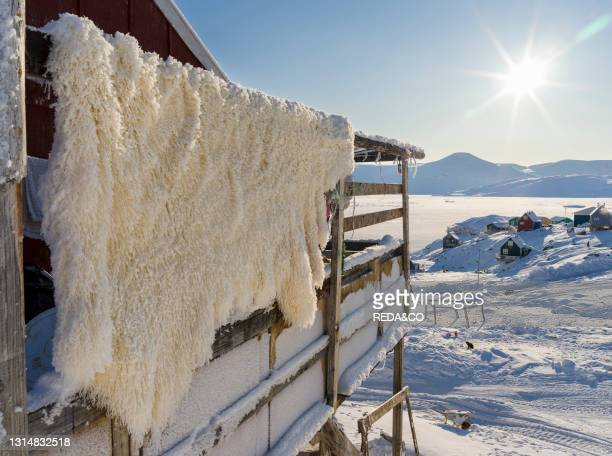 Fur of a polar bear. Hunting is strictly regulated and only for personal use of the locals. The traditional and remote greenlandic inuit village...
