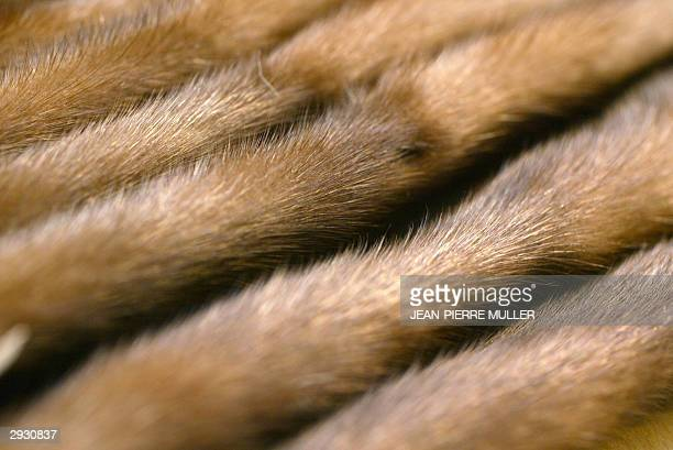 Fur pelts are on display 30 January 2004 at the Saga Furs Design Centre in Vedbaek near Copenhagen Saga Furs a marketing organisation for the...