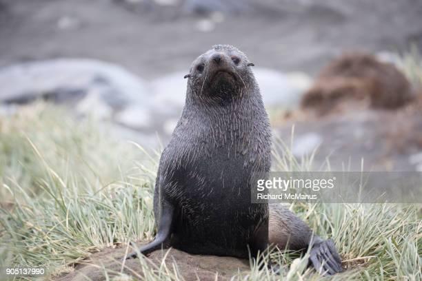 Fur seal at Gold Harbour.