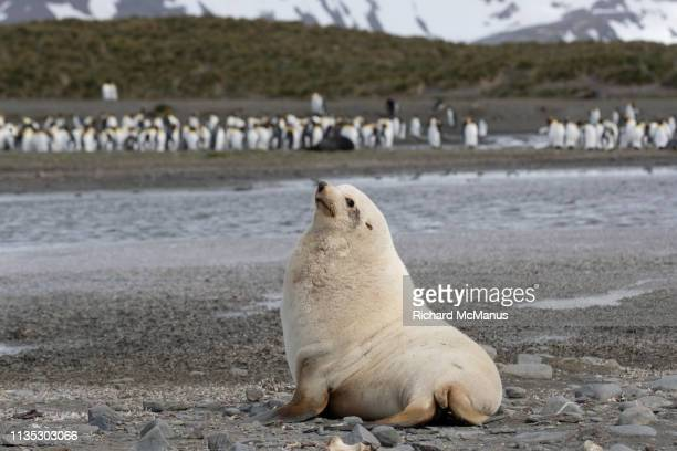 fur seal at salisbury plain - seal beach stock pictures, royalty-free photos & images