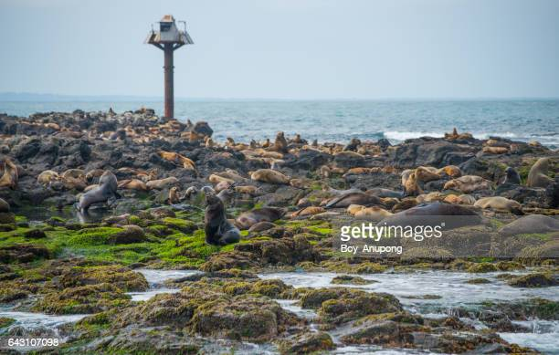 Fur Seal colony in the Seal rock near the Nobbies of Phillip Island, Australia.