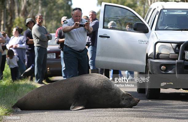 Fur seal crosses a road in bushland, several kilometres inland from the Southern Ocean, on September 5, 2011 in Naringal, Australia. The animal made...