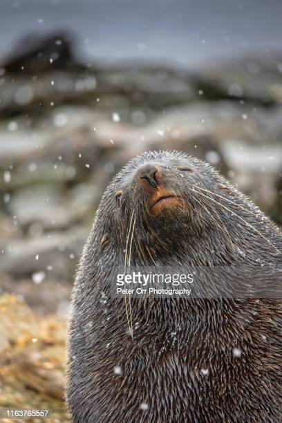 a fur seal in a snow storm - peter snow stock pictures, royalty-free photos & images