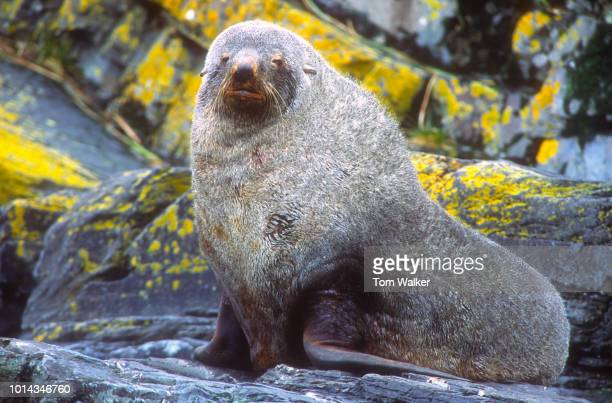 Fur Seal, Northern, St. Paul, Island, Alaska