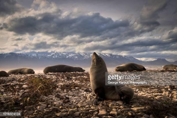 fur seal on land, kaikoura, gisborne, new zealand - gisborne stock photos and pictures