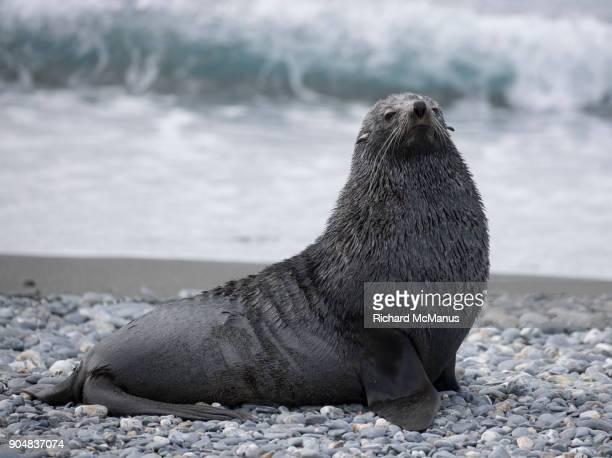 Fur seal on Salisbury Plain.