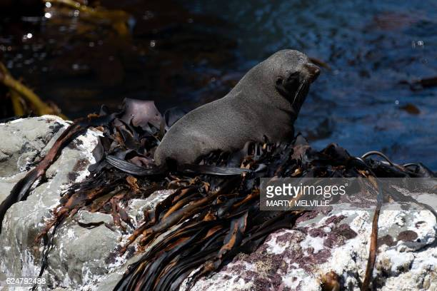 A fur seal sits on a rock that would have been under water before the November 14 78 earthquake that hit Kaikoura in Oaro on November 21 2016...