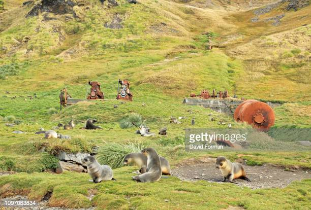 fur seals among abandoned whaling machinery, grytviken, south georgia. - atlantic islands stock pictures, royalty-free photos & images