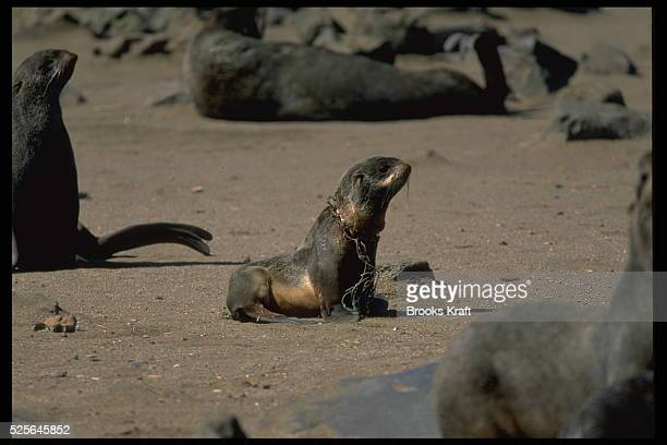 Fur seals and particularly young individuals often die of suffocation caught in fishing nets