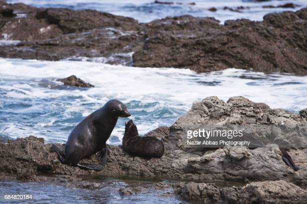 Fur Seals Mother Feeding Baby.