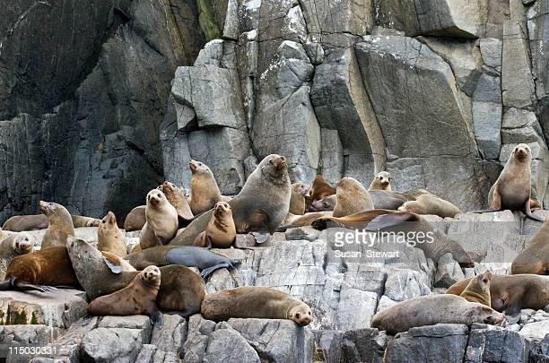 fur seals - seal pup stock photos and pictures