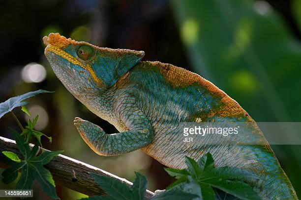 furcifer pardalis or panther chameleon praying - ranomafana national park stock photos and pictures