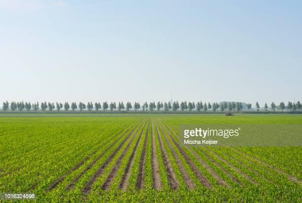 Furrowed corn field, Kats, Zeeland, Netherlands