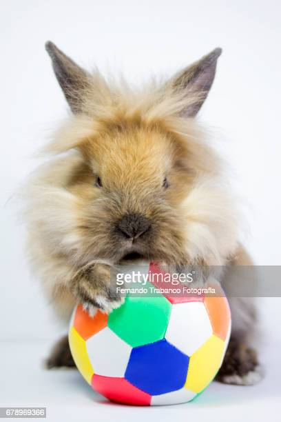 furry dwarf rabbit playing with a colorful soccer ball or handball or volleyball doing sport, oryctolagus cuniculus domesticus. - hairy balls stock photos and pictures