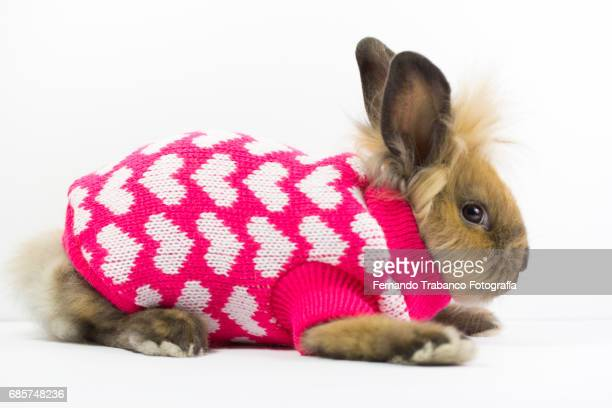 furry dwarf rabbit wrapped and disguised in a winter wool sweater with hearts and love, oryctolagus cuniculus domesticus - animali pasquali foto e immagini stock