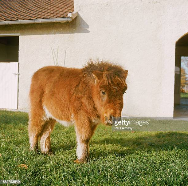 Furry Shetland Pony