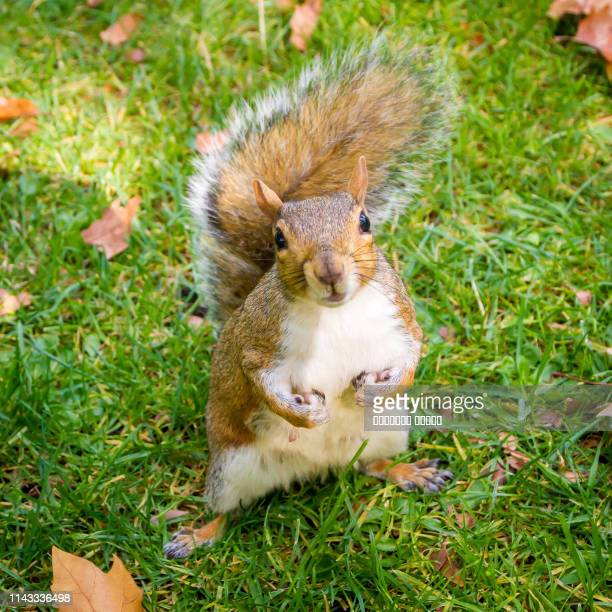 furry squirrel is sitting in the autumn london park - 冬眠 ストックフォトと画像