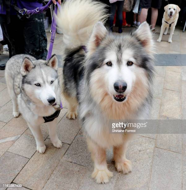 Fury the Siberian Husky and Willow the Malamute enjoy The Family Pet Show 2019 at Media City on July 21, 2019 in Manchester, England.