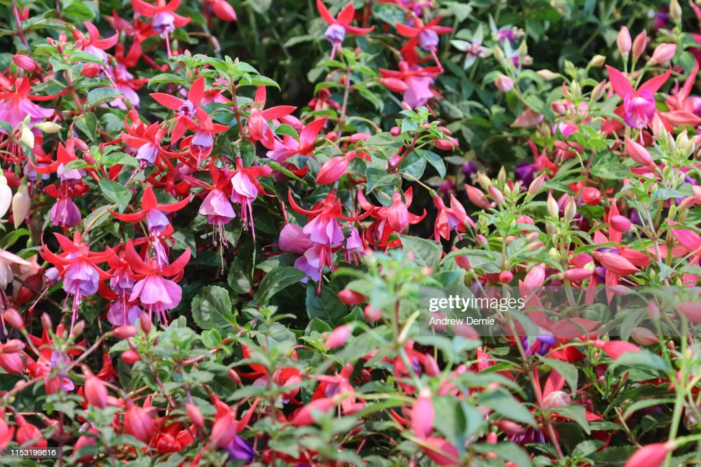 Fuschia Flower : Stock Photo