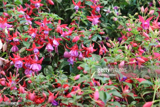 fuschia flower - andrew dernie stock pictures, royalty-free photos & images